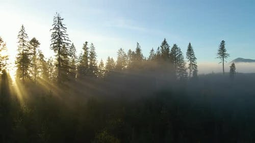 Aerial view of dark green pine trees in spruce forest with sunrise rays shining through