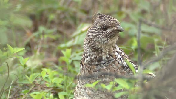 Thumbnail for Ruffed Grouse Cock Male Adult Lone Looking Around in Summer in South Dakota