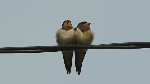 Small Swallow Birds