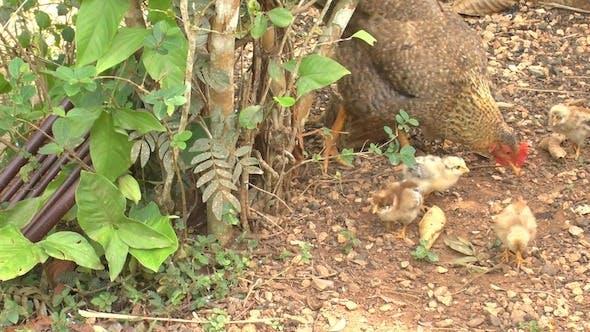 Thumbnail for Chicken Family, Cuba