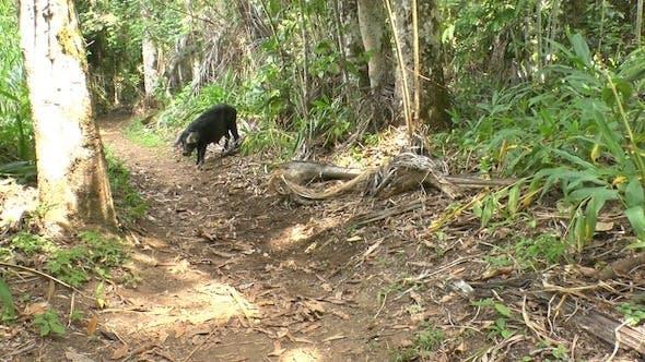 Cover Image for Wild Black Hog In Topes De Collantes, Cuba