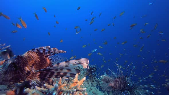 Thumbnail for Underwater Reef Sea Lionfish