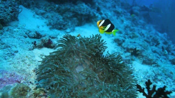 Thumbnail for Ocellaris Clownfish (Amphiprion Ocellaris)