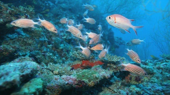Cover Image for School Of Crown Squirrelfishes