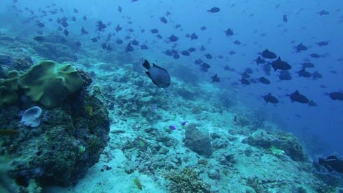 Migration Of Red-Toothed Triggerfishes