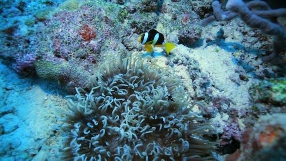 Clarkii (Black African, Orange Finned) Clownfish