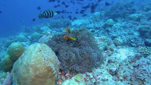Maldive Anemonefish (Amphiprion Nigripes)