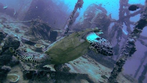The Hawksbill Turtle (Eretmochelys Imbricata)