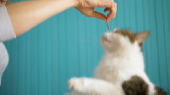 Girl Feeds Delicacy of White Cat, Funny Pet