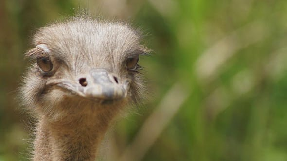 Cover Image for Ostrich Head