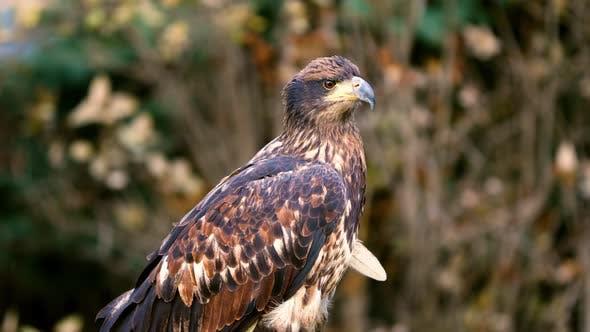 Portrait of a juvenile Bald Eagle