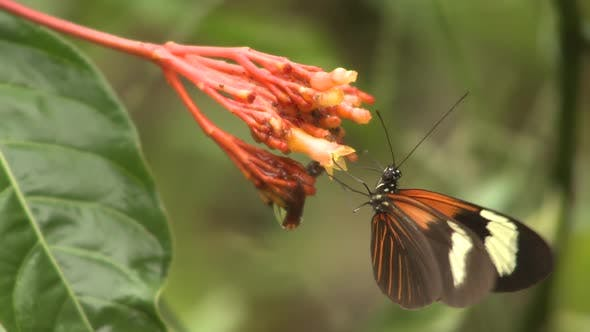 Butterfly Insect Adult Eating Nectaring on Flower in Amazon Jungle Rainforest