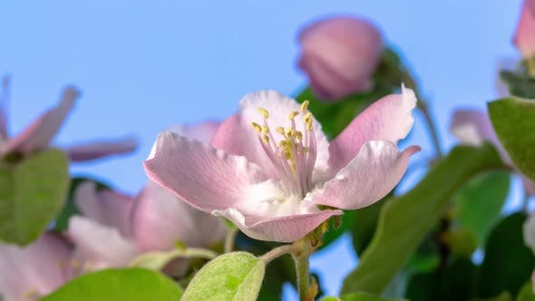 Thumbnail for Quince Blossom Timelapse Rotating on Blue