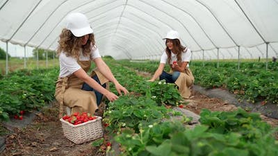 Two Women with Admiring Picking Strawberries
