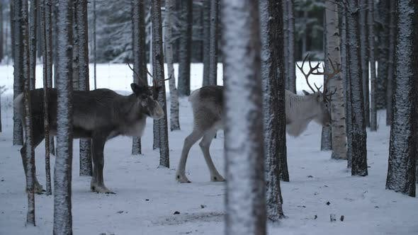 Thumbnail for White Male and Brown Female Deer Standing Together in Frosty Pine Forest in Finland