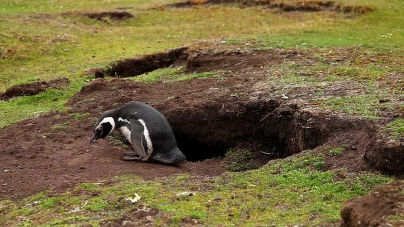 Thumbnail for Magellanic Penguin Next To It's Nest