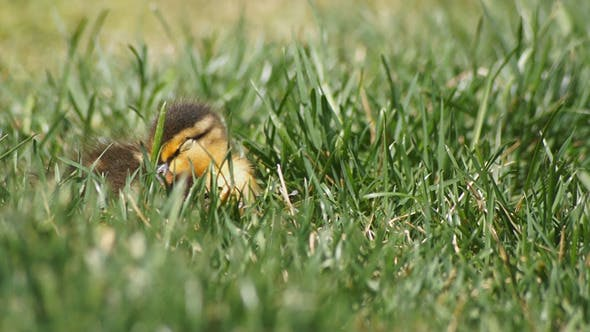 Thumbnail for Baby Duck Sleeping In Grass