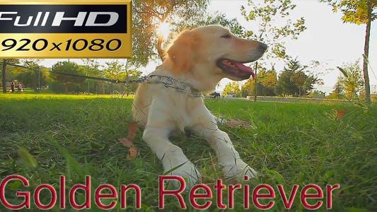 Thumbnail for Golden Retriever FULL HD