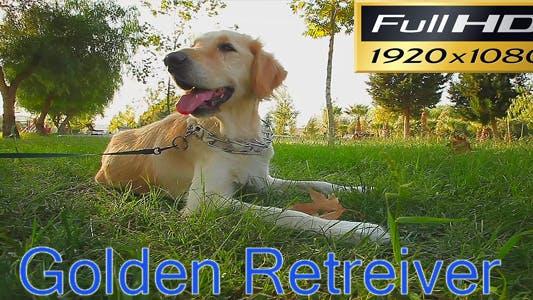 Thumbnail for Golden Retriever