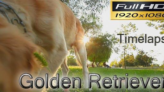 Thumbnail for Golden Retriever Timelapse