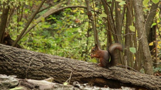 Thumbnail for Squirrel on Tree