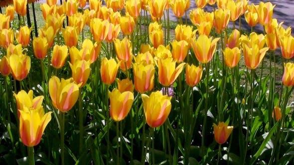 Thumbnail for Tulip Flowers in Keukenhof Garden, Holland