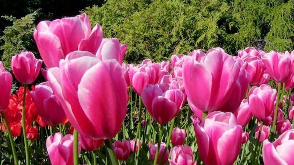 Thumbnail for Tulip Flowers in Keukenhof Garden, Holland 2