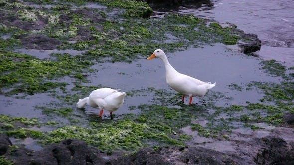 Thumbnail for White Geese Feeding On Seashore