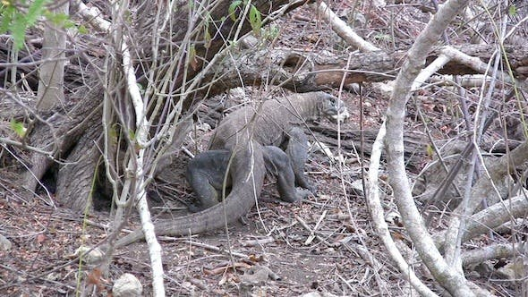 Cover Image for Giant Lizard Of Komodo Island In The Wild 2