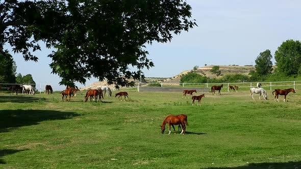 Thumbnail for Horses Grazing