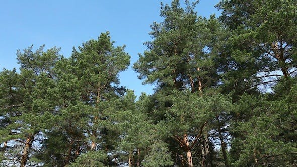 Thumbnail for Moving Pine Trees In Coniferous Forest