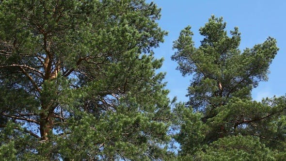 Thumbnail for Moving Pine Trees In Coniferous Forest 2