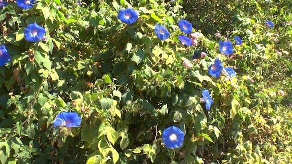 Blue Flowers of Blindweed