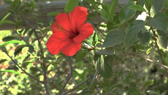 Thumbnail for Red Hibiscus Flower, Crete