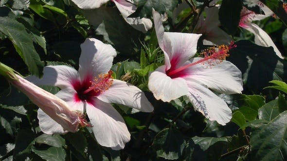 Thumbnail for Nature Background with Rose Hibiscus Flowers 3