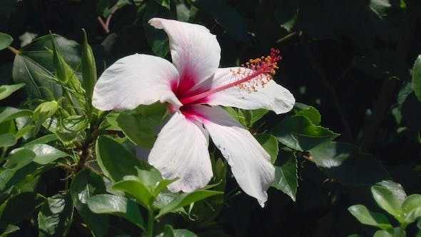 Thumbnail for Nature Background with Rose Hibiscus Flower