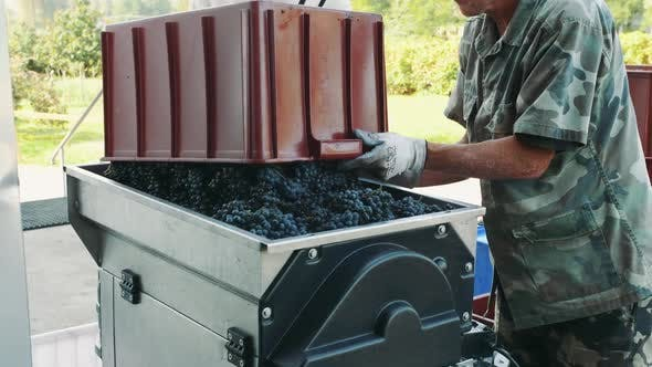 Pouring Ripe Grapes Into Grinder