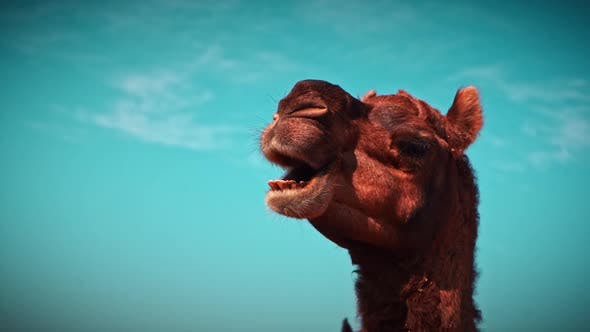 Cinematic Slo-mo Shot of Camel Chewing Under a Blue Sky in Pushkar, India