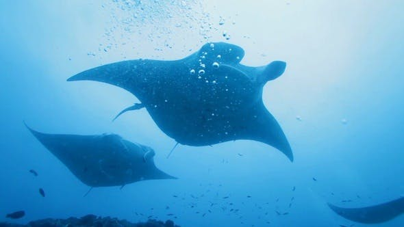 Thumbnail for Manta Rays Swimming in Ocean Blue, Maldives