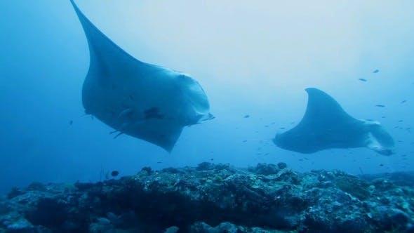 Thumbnail for Manta Rays Swimming in Ocean Blue, Maldives