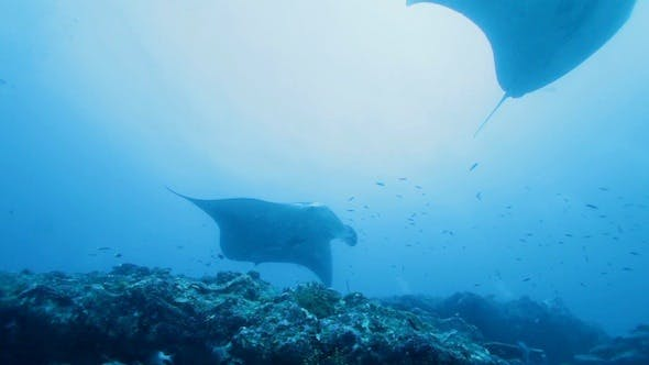 Cover Image for Manta Rays Swimming in Ocean Blue, Maldives