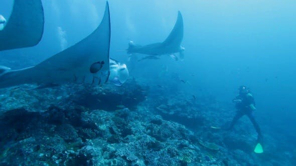 Cover Image for Diver Against School of Manta Rays, Maldives