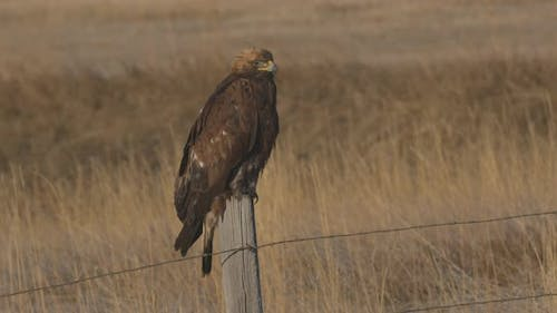 Golden Eagle Adult Lone Perched Looking Around in Autumn Fence Post