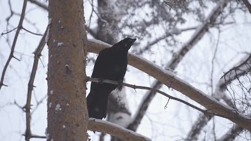Black Raven Sitting on Tree Among Branches