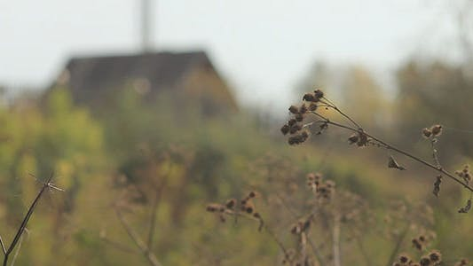 Thumbnail for Dry Stalks And Country House