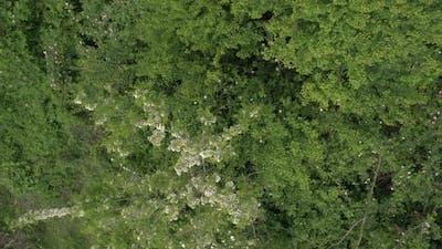Tree Black locust Robinia pseudoacacia in flower 4K aerial footage
