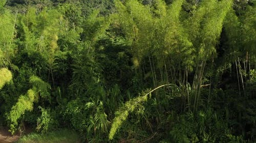 A video showing the green leaves and tall stalks of large and high bamboo