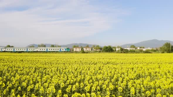 Thumbnail for Train and the Sunflowers Field