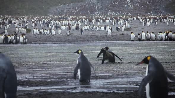 King Penguin Colony on South Georgia