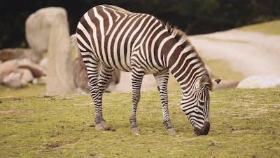 Grazing Zebra In Safari Park